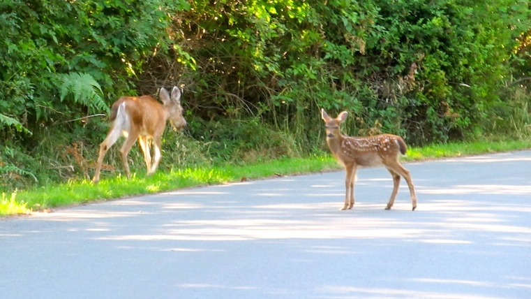 Fawn on road, lowres
