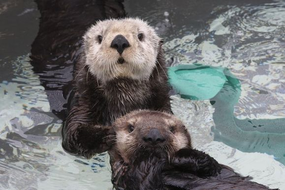 Sea otter with pup, Courtesy of Monteray Bay Aquarium